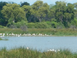 White pelicans and crocodile, just visible in a hippo pool.