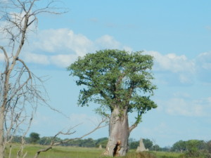 The iconic Babab tree against a blue Okavango sky