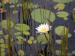 Moremi waterlilies