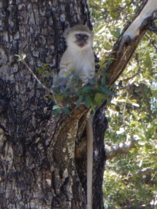 Moremi monkeys are playful and opportunistic robbers of all things edible.