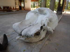 Elephant skull at Moremi, North Gate.