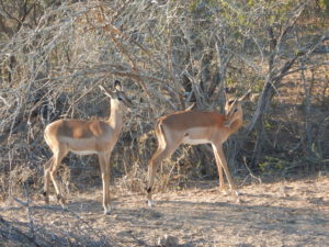 Impala - delicate and tawny.