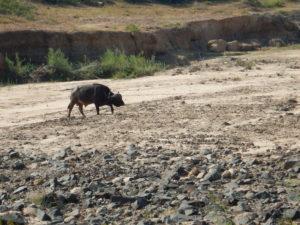 Lone buffalo.