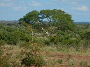 Kruger landscape.