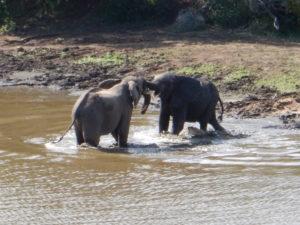 Kruger elephants.