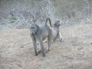 Curious baboon.
