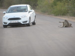 At Kruger, animals have the right of way. These vervet monkeys were enjoying the warmth of the tar road.