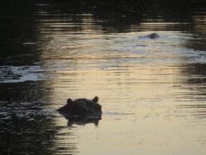 Kruger hippo.