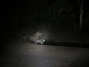 Cavorting hyenas.