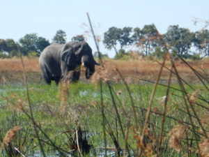 Boro River elephant