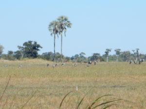 Maribou storks in a palm-studded landscape.